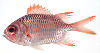To NMNH Extant Collection (Myripristis violacea USNM 408214 photograph lateral view)