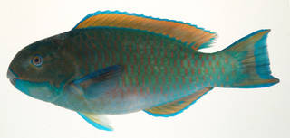 To NMNH Extant Collection (Scarus microrhinos USNM 408219 photograph lateral view)