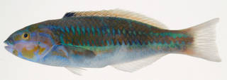 To NMNH Extant Collection (Thalassoma quinquevittatum USNM 408259 photograph lateral view)