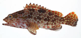 To NMNH Extant Collection (Epinephelus hexagonatus USNM 408267 photograph lateral view)