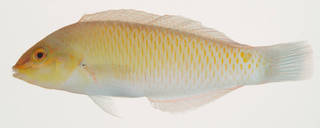 To NMNH Extant Collection (Halichoeres trimaculata USNM 408268 photograph lateral view)