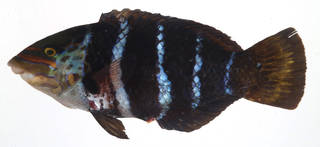 To NMNH Extant Collection (Hemigymnus fasciatus USNM 408291 photograph lateral view)