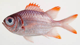To NMNH Extant Collection (Myripristis violacea USNM 408306 photograph lateral view)