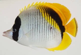 To NMNH Extant Collection (Chaetodon lineolatus USNM 408472 photograph lateral view)