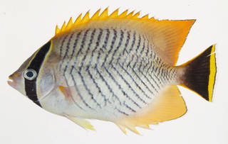 To NMNH Extant Collection (Chaetodon trifascialis USNM 408473 photograph lateral view)