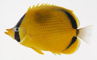 To NMNH Extant Collection (Chaetodon semeion USNM 408509 photograph lateral view)