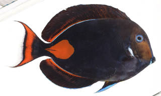 To NMNH Extant Collection (Acanthurus achilles USNM 408723 photograph lateral view)