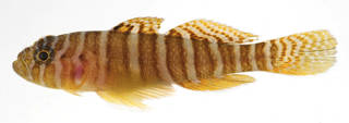 To NMNH Extant Collection (Priolepis squamogena USNM 408738 photograph lateral view)