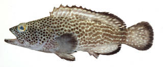 To NMNH Extant Collection (Epinephelus socialis USNM 408760 photograph lateral view)