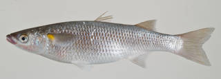 To NMNH Extant Collection (Neomyxus leuciscus USNM 408763 photograph lateral view)