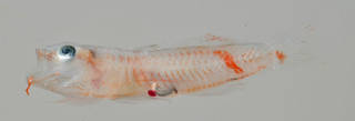 To NMNH Extant Collection (Priolepis squamogena USNM 408769 photograph lateral view)