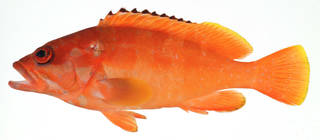 To NMNH Extant Collection (Epinephelus sexfasciatus USNM 409515 photograph lateral view)