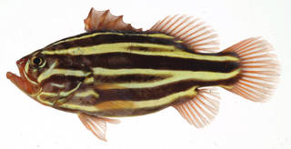 To NMNH Extant Collection (Grammistes sexlineatus USNM 409630 photograph lateral view)