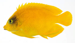 To NMNH Extant Collection (Centropyge heraldi USNM 409663 photograph lateral view)