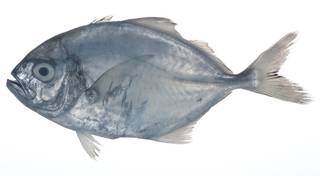 To NMNH Extant Collection (Uraspis USNM 408891 photograph lateral view)