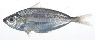 To NMNH Extant Collection (Equulites elongatus USNM 408913 photograph lateral view)