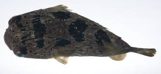 To NMNH Extant Collection (Diodon holocanthus USNM 408916 photograph dorsal view)
