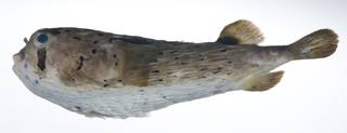 To NMNH Extant Collection (Diodon holocanthus USNM 408916 photograph lateral view)