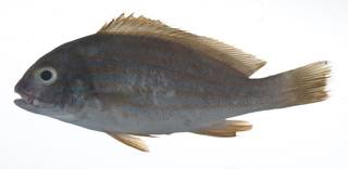 To NMNH Extant Collection (Plectorhinchus chrysotaenia USNM 408924 photograph lateral view)