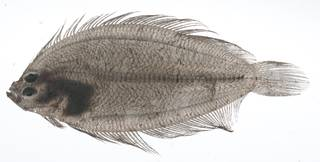 To NMNH Extant Collection (Arnoglossus USNM 408964 photograph lateral view)