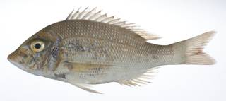 To NMNH Extant Collection (Lethrinus nebulosus USNM 408967 photograph lateral view)