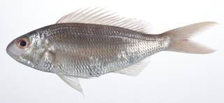 To NMNH Extant Collection (Nemipterus peronii USNM 408989 photograph lateral view)