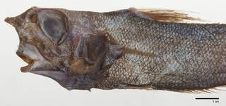 To NMNH Extant Collection (Nezumia cyrano USNM 205876 paratype photograph head)