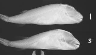 To NMNH Extant Collection (Sphoeroides nephalus USNM 133559 radiograph lateral)