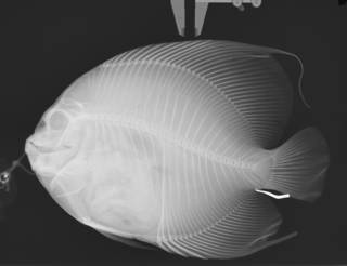 To NMNH Extant Collection (Pomacanthus arcuatus USNM 192379 radiograph)