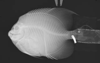To NMNH Extant Collection (Pomacanthus zonipectus USNM 203464 radiograph)