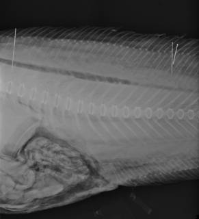 To NMNH Extant Collection (Bassobythites USNM 227655 radiograph)