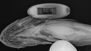To NMNH Extant Collection (Bassobythites USNM 227655 radiograph ventral)