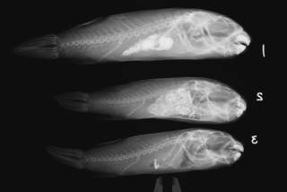 To NMNH Extant Collection (Colomesus psittacus USNM 267735 radiograph lateral)