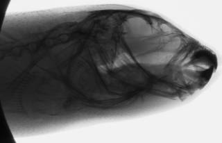 To NMNH Extant Collection (Sphoeroides annulatus USNM 362124 radiograph head)