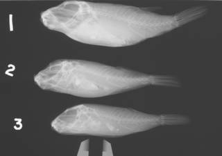 To NMNH Extant Collection (Sphoeroides greeleyi USNM 38536 radiograph lateral)