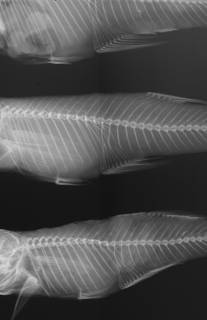 To NMNH Extant Collection (Gambusia affinis USNM 64766 radiograph)