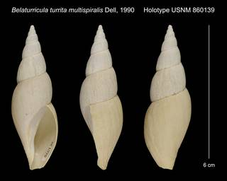 To NMNH Extant Collection (Belaturricula turrita multispiralis Dell, 1990 Holotype USNM 860139)