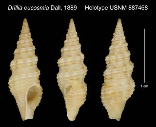 To NMNH Extant Collection (Drillia eucosmia Dall, 1889 Holotype USNM 887468)