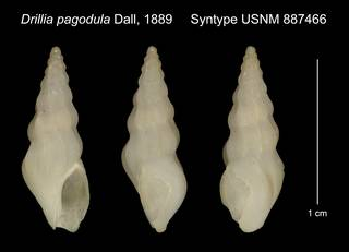 To NMNH Extant Collection (Drillia pagodula Dall, 1889 Syntype USNM 887466)