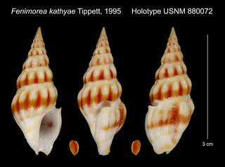 To NMNH Extant Collection (Fenimorea kathyae Tippett, 1995 Holotype USNM 880072)