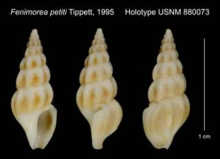To NMNH Extant Collection (Fenimorea petiti Tippett, 1995 Holotype USNM 880073)
