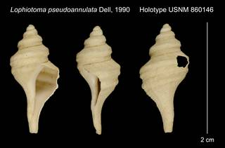 To NMNH Extant Collection (Lophiotoma pseudoannulata Dell, 1990 Holotype USNM 860146)