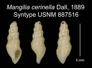 To NMNH Extant Collection (Mangilia cerinella Dall, 1889 Syntype USNM 887516)