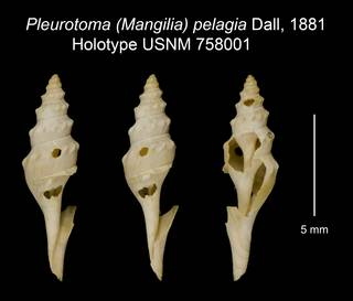 To NMNH Extant Collection (Pleurotoma (Mangilia) pelagia Dall, 1881 Holotype USNM 758001)