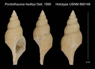 To NMNH Extant Collection (Pontiothauma hedleyi Dell, 1990 Holotype USNM 860148)