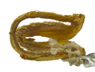 To NMNH Extant Collection (Carcharhinidae USNM 224129 photograph jaw lateral view)