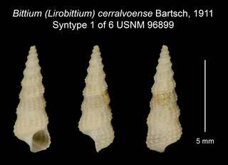 To NMNH Extant Collection (Bittium (Lirobittium) cerralvoense Bartsch, 1911 Syntype USNM 96899)