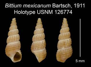 To NMNH Extant Collection (Bittium mexicanum Bartsch, 1911 Holotype USNM 126774)