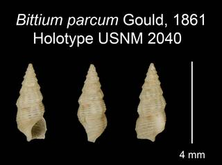 To NMNH Extant Collection (Bittium parcum Gould, 1861 Holotype USNM 2040)