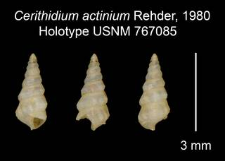 To NMNH Extant Collection (Cerithidium actinium Rehder, 1980 Holotype USNM 767085)